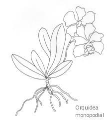 orquidea_monopodial